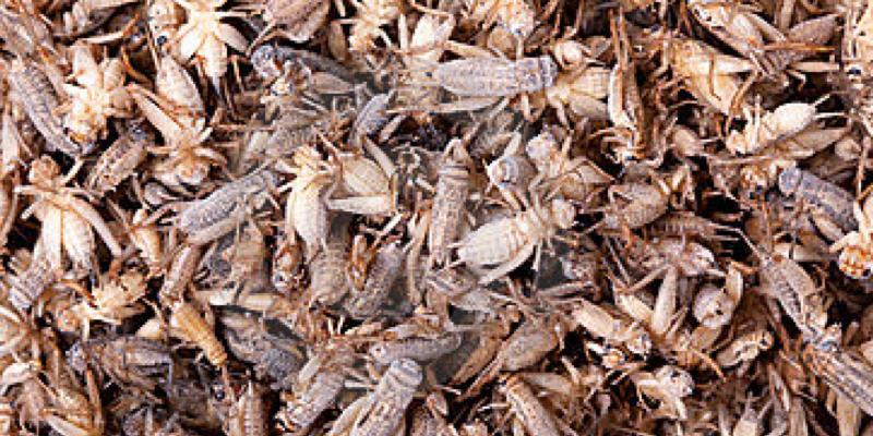 Thai Cricket Farming
